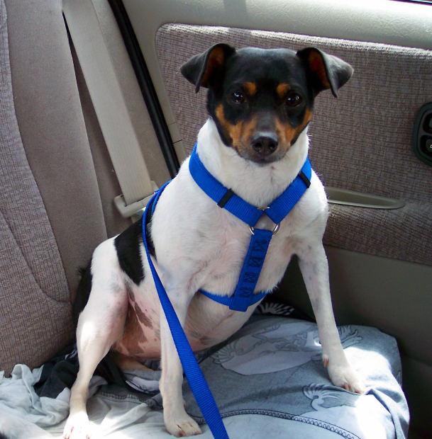 Seguridad para nuestra mascota en el coche